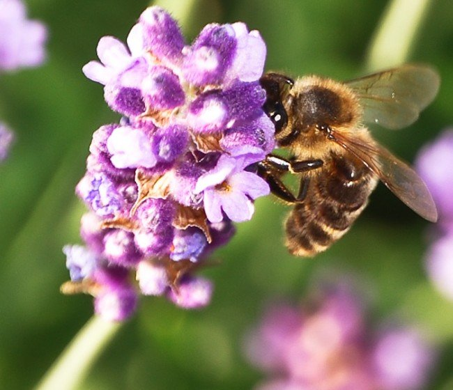 honeybee-lavender-insect-277367-o-650x560.jpg