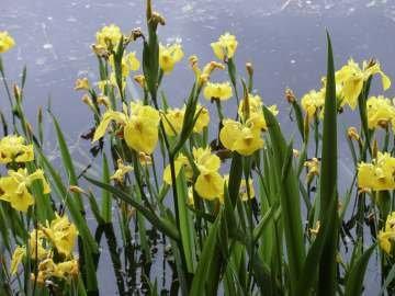 yellow_iris1.jpg