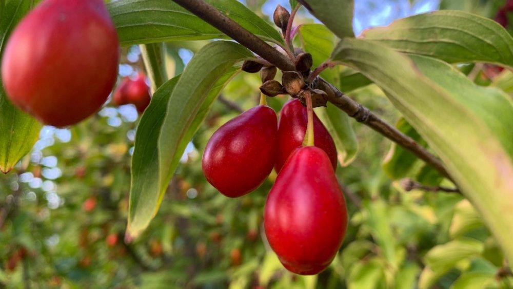 Elfeledett őshonos gyümölcstermők a kertbe: íme 6 hihetetlenül olcsó csodabogyó