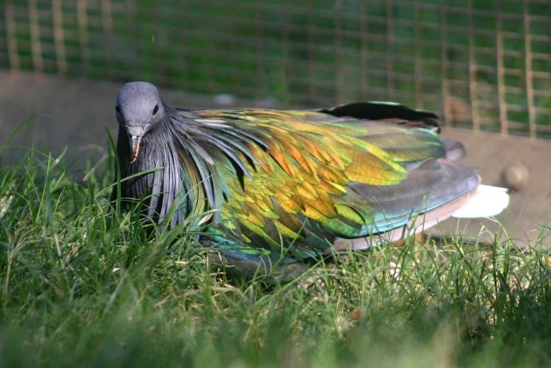 a bird sitting on grass: A Nicobara Pigeon was stolen from the Fresno Chaffee Zoo Sunday morning.