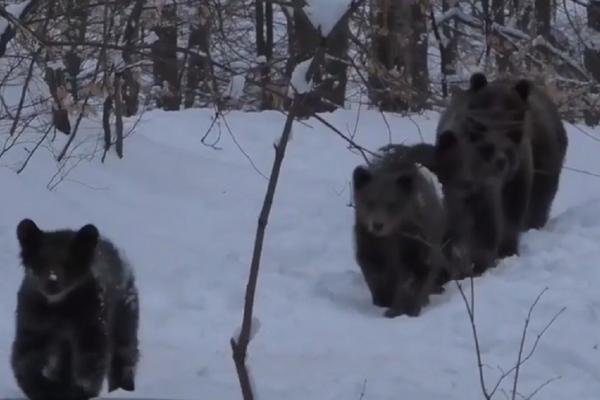 Imagini inedite, surprinse în Munţii Buzăului. Şase urși au ieşit la plimbare (Video)
