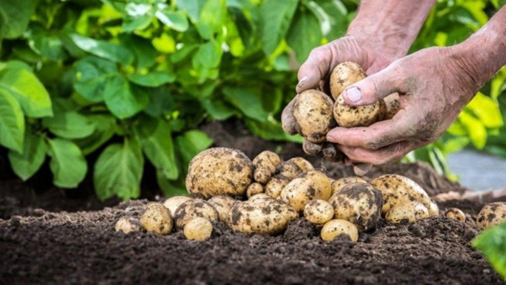 Primii cartofi românești nu au căutare pe piață. Fermierii se așteaptă la vremuri grele