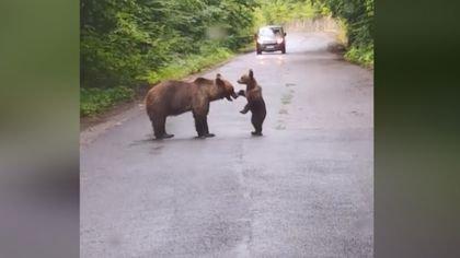 joaca dintre ursoaica si pui