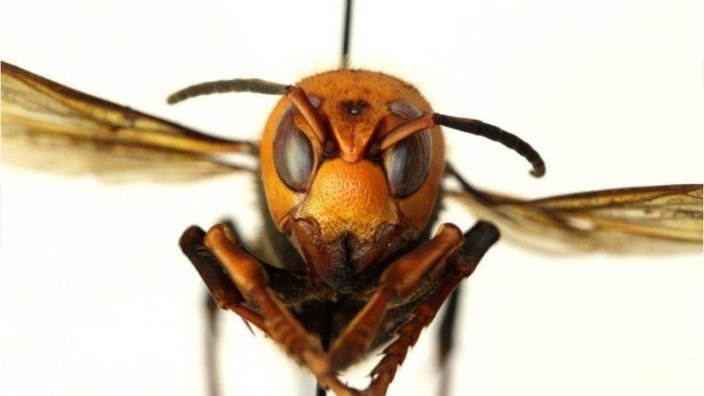 """Look into the eyes of this """"murder hornet."""" The invasive species slaughters honeybees, can be deadly to humans and unfortunately has been spotted in the USA."""
