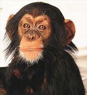 Image result for Semnul Intrebarii in Imagini Cu Maimuta